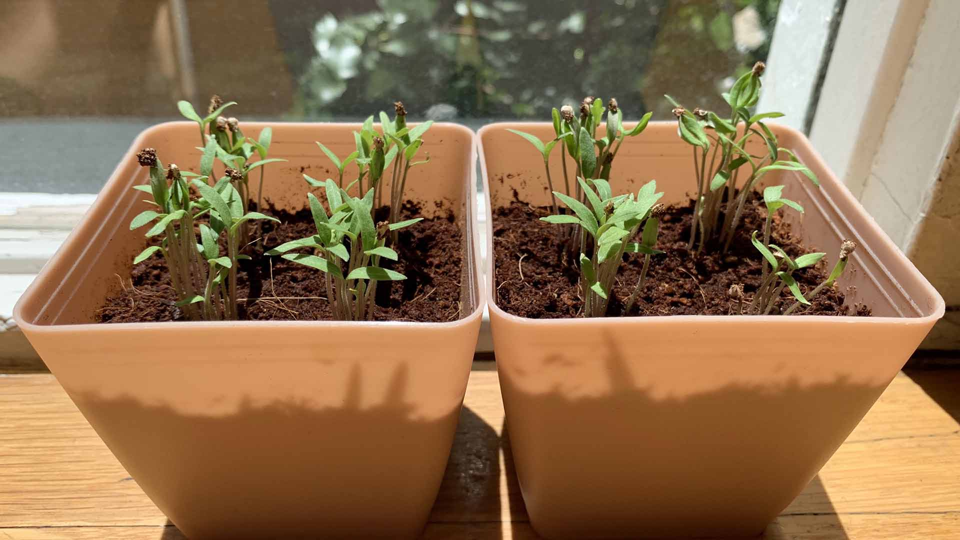 growing_tomatoes