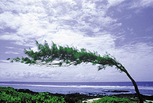 Image of a tree extremely bent from harsh winds